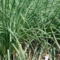 Plantas de Rakkyo